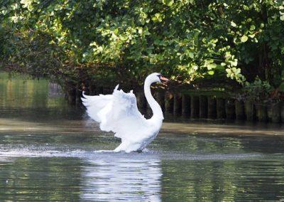 Swan, Stratford Park, Stroud